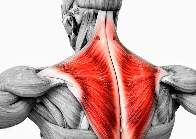 Budowa mięśni czworobocznych